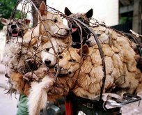 Çin'de köpek eti festivali!