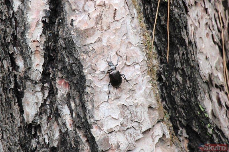 İstanbul'un ormanlarını gladyatör koruyacak
