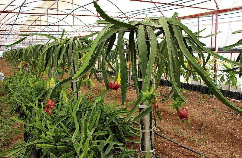 Ejder meyvesi nedir nerede yetişir suyunun faydaları nelerdir