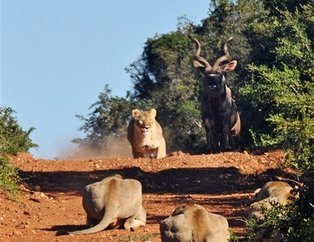 Antiloptan inanılmaz taktik!