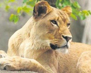 Dişi aslan eşini öldürdü