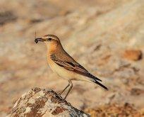 Türkiye'de nadir görülen kuş görüntülendi