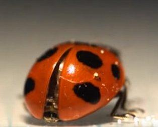 Bilim insanları şaştı kaldı! Meğer uğur böceği...