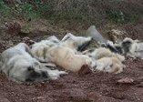 Osmaniye'de arazide üst üste atılmış köpek ölüleri bulundu