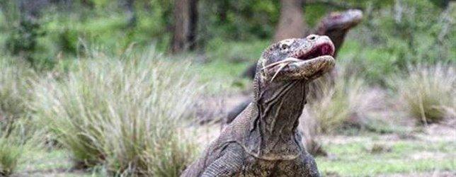 Komodo ejderinin avı nefes kesti