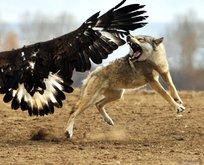 Vahşi doğada kartalın kurt avı görüntüleri şoke etti!
